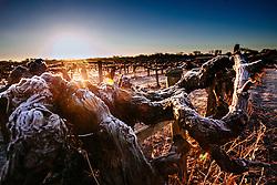Winter blanketing half-century old vines