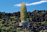 Silversword, Haleakala, Maui, Hawaii, USA<br />