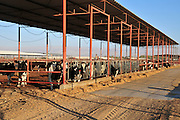 Cows in a cowshed Photographed at Faran in the Arava desert, Israel
