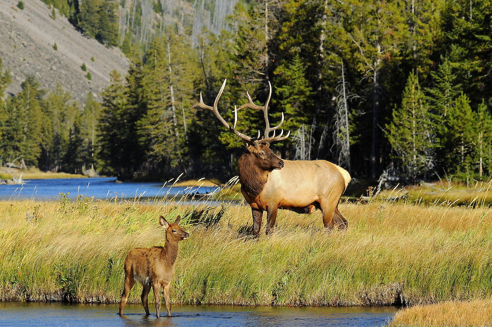 Shortening days and cooling temperatures signal the start of the elk rut in Yellowstone Park. This dominant bull keeps an eye on his harem during the peak of the breeding season in September, as a young calf looks on.
