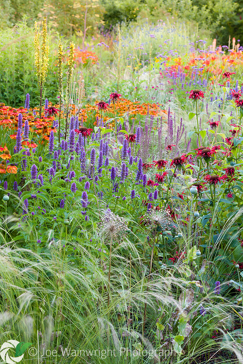 Herbaceous borders at Bluebell Cottage Gardens, Dutton, Cheshire, designed by Sue Beesley. Photographed in July. Planting includes Helenium 'Sahins Early Flowerer', Agastache 'Liquorice Blue', Salvia nemorosa 'Amethyst', Stipa 'Wind Whispers', and Monarda 'Jacob Kline'
