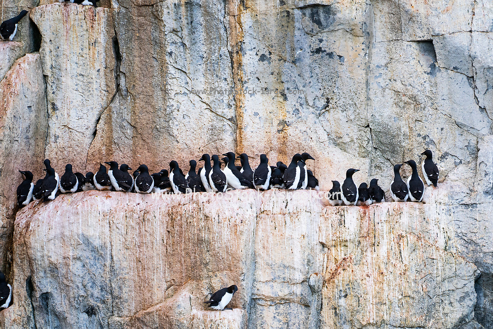 Nesting colony of Thick-billed murre or Brunnich's guillemot (Uria lomvia)  at Aalkefjellet Hinlopenstretet Spitsbergen, Svalbard, home to over 60,000 pairs in July. This coastal seabird is native to northern latitudes of Europe, Asia and North America. It feeds mainly on fish and breeds in large colonies on cliff-sides. Photographed in July in Norway's Svalbard archipelago in the Arctic.