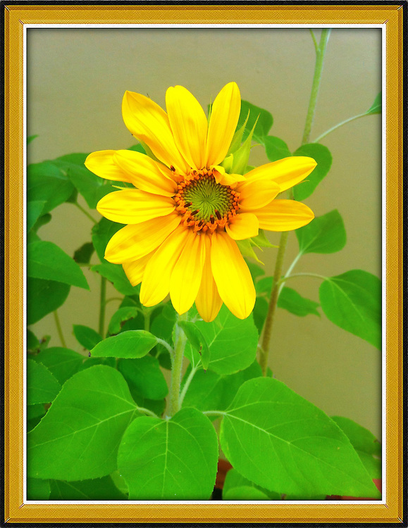 sunflower,Iphoneography,Iphone image cellphone photography,Iphone pictures,smartphone pictures