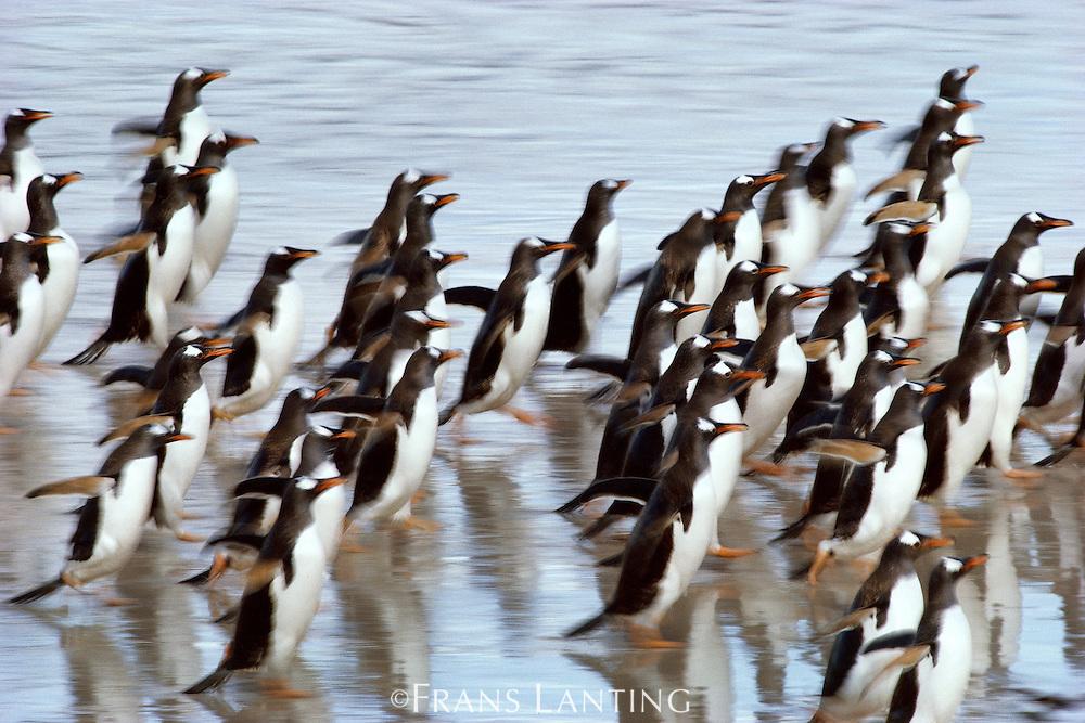 Gentoo penguins running, Pygoscelis papua, Falkland Islands