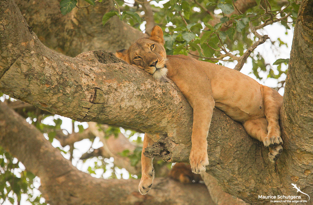 A lioness enjoying a lazy afternoon in the tree canopy in Queen Elizabeth National Park, Uganda