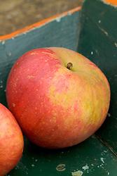 Apple 'Worcester Pearmain' - Malus