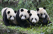 Giant Panda<br /> Ailuropoda melanoleuca<br /> Sub-adults<br /> Chengdu Research Base of Giant Panda Breeding, Chengdu, China<br /> *captive