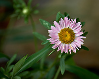 Daisy (?) wildflower in my garden. Image taken with a Fuji X-T2 camera and 100-400 mm OIS telephoto zoom lens