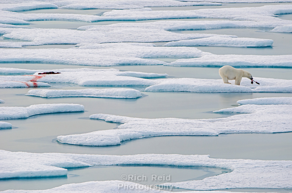 Polar bear on sea ice with a seal kill in Norwegian Bay on the Bjorne Peninsula on Ellesmere Island on Nunavut, Canada.