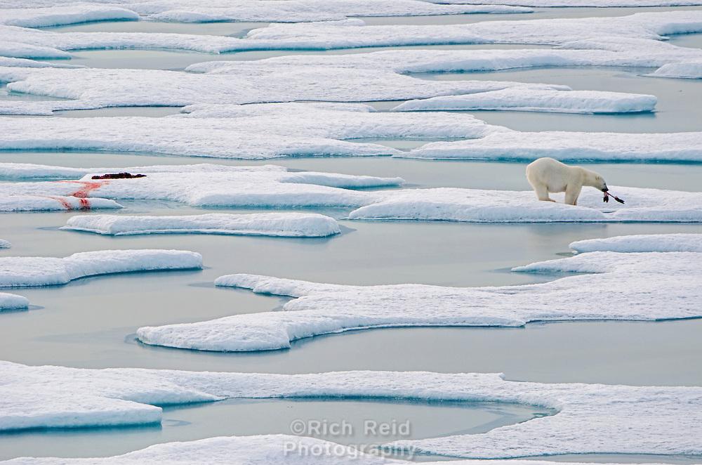 Polar bear on sea ice with a seal kill in Norwegian Bay on the Bjorne Peninsula on Ellesmere Island on Nunavut, Canada.