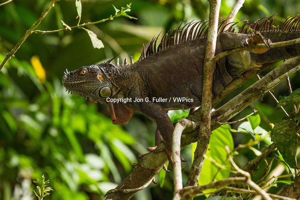 A large adult Green Iguana, Iguana iguana, in a tree in the rainforest in Tortuguero National Park,  Costa Rica.
