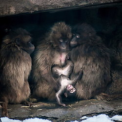 Edinburgh Zoo photo-call Jan, 2013