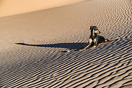A young black Sloughi dog (Arabian greyhound) rests in the sand dunes in the Sahara desert of Morocco. High key image with muted colours.