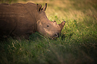 White rhino feeding in long lush green grassMunyawana Conservancy, KwaZulu Natal, South Africa
