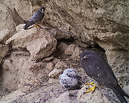 Adult male (far) and adult female peregrine falcons watch as their 3 week old nestling crouches over prey. This cave is the low ledge that the nestling was placed in after having prematurely fledged. © 2015 David A. Ponton [photo by motion-activated camera, low-resolution limits repro. size]