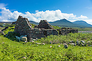 Sheep graze among ruins of a cottage at Achiltibuie on the West Coast of Scotland