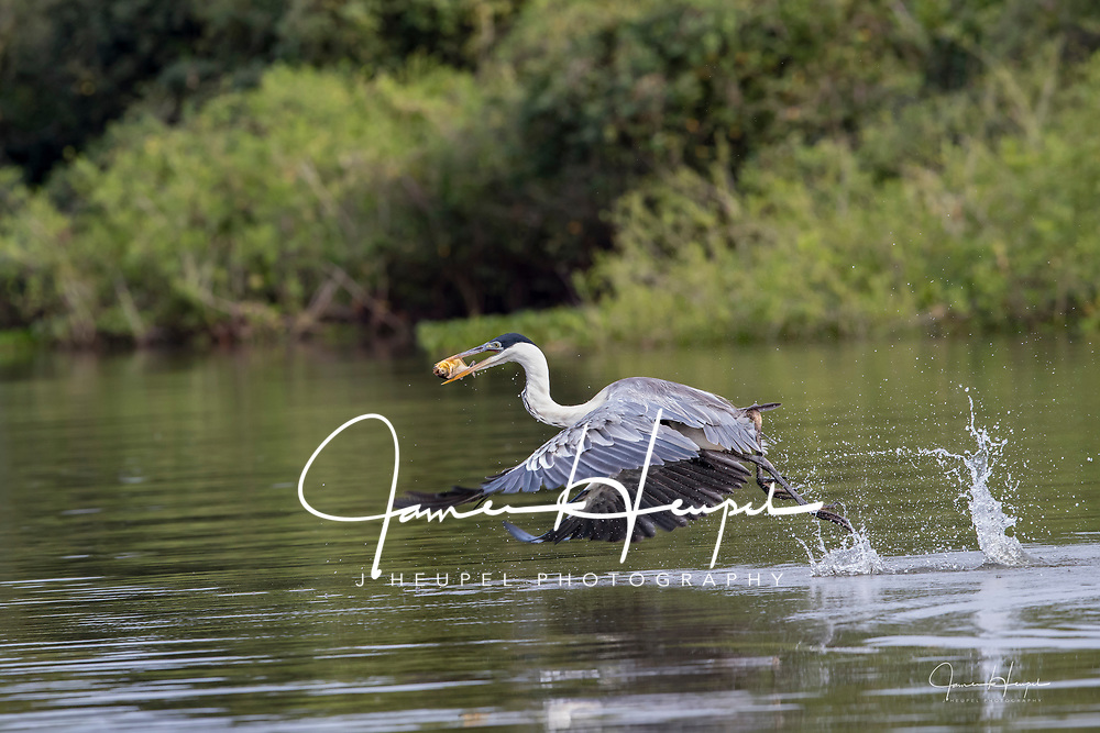Cocoi Heron, Hops, Skimps and Jumps into Flight with Fish