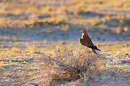 The Greater Kestral is a locally common resident in southern Africa especially in open, semi-arid and arid country. Solitary or in pairs is usually perched on a high vantage point.