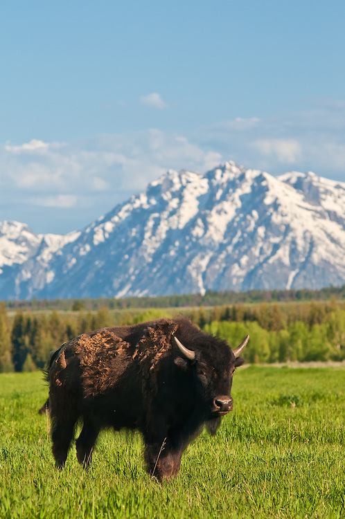 A wild and free American buffalo (or bison) posed beautifully for me in the Grand Teton National Park in Northwestern Wyoming.