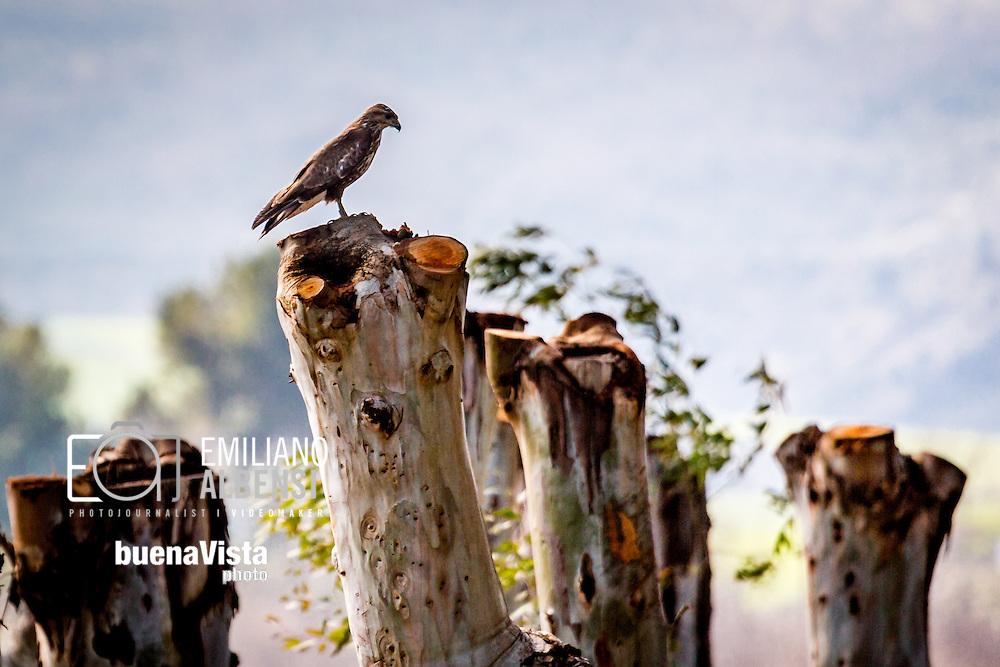 Oasi Lago di San Giuliano, Basilicata, Italia, 02/03/2016<br /> Un nibbio reale nell'Oasi WWF Lago di San Giuliano.<br /> <br /> Oasis St. Giuliano Lake, Basilicata, Italy, 02/03/2016<br /> A red kite into the St. Giuliano Lake WWF Oasis.