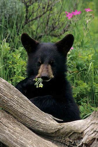 Black Bear, (Ursus americanus) Cub. Montana. Captive Animal.