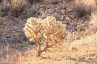 This young(er) teddybear cholla in Joshua Tree National Park is still mostly covered with fresh spines, all pale, dense, and waiting for a passerby to touch it, enabling a piece to be broken off and carried off to start another plant as soon as it touched the ground. I was unfortunate enough to have a piece stuck to my bare calf, then had my hand stuck to it as I tried to pull it off of me. It was shockingly painful, much more so than any other California cactus I happened to get pricked by.