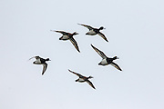 Scaup (bluebills) in flight