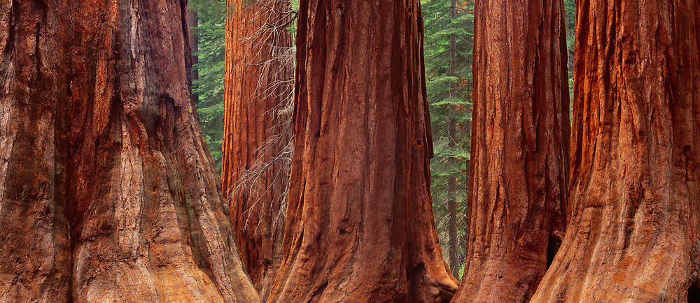 Giant Sequoia trees, Mariposa Grove, Yosemite National Park, California  1993
