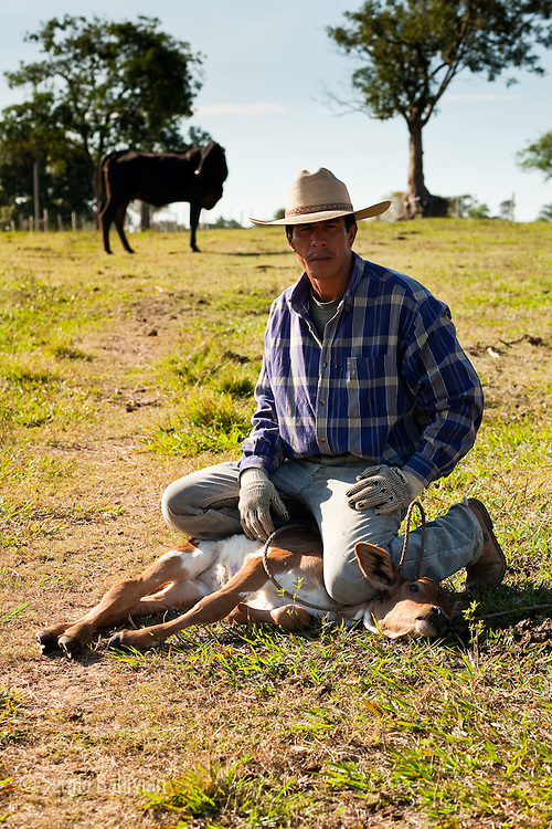 A cowboys sits on top of a calf he roped in order to vaccinate it in the Bolivian Amazon.