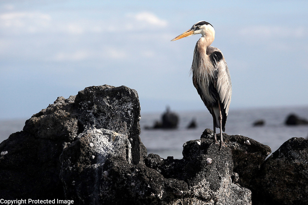 A great blue heron is photographed on Isabela Island in the Galapagos. The great blue herons in the Galapagos primarily eat marine iguanas, lava lizards and common fish.