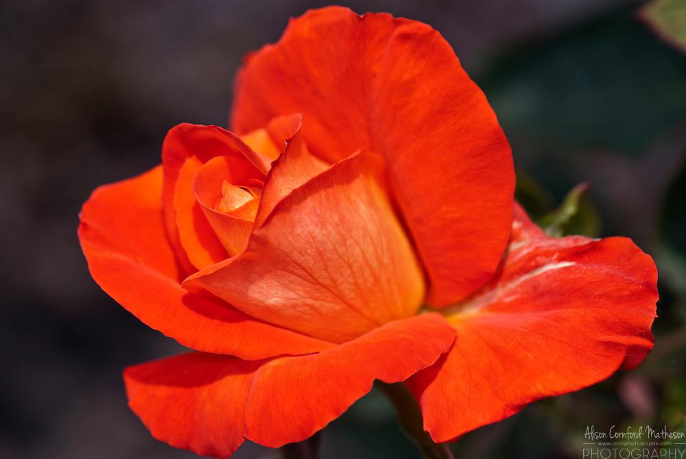 Rose France Libre