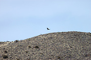Colca Canyon - Tuesday, Dec 17 2002: An Andean Condor (Vultur gryphus) flys close to a ridge at Colca Canyon, Peru. (Photo by Peter Horrell / http://www.peterhorrell.com)