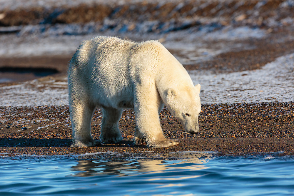 Female polar bear (Ursus maritimus) walking on spit on Barter Island near Kaktovik in the Arctic National Wildlife Refuge in the Far North of Alaska. Autumn. Morning.