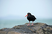 Variable Oystercatcher along the coast, South Island, New Zeland