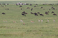 Cheetah (Acinonyx jubatis) chasing a Thompson's gazelle, Serengeti