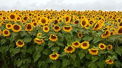 Colby Farm Sunflower Field, Newburyport, Massachusetts, United States of America