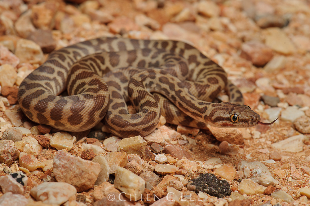 With an adult size of less than one meter in length, the beautifully patterned Stimson's Python (Antaresia stimsoni) is one of the smallest pythons. Western Australia.