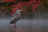 A great blue heron (Ardea herodias) in the morning mist of a fall morning.
