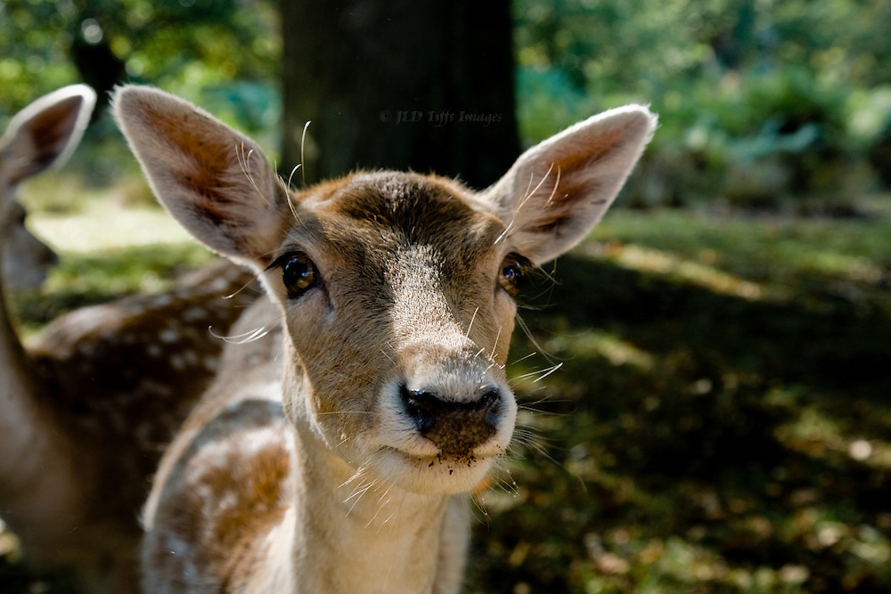 Head of a young deer looking directly into the lens.  It is young, with spots, and large ears.  Bambi in person, perhaps hoping for a handout from my lunch.
