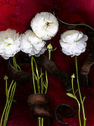 Ranunculus flowers on red cloth