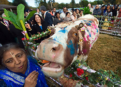 "© under license to London News pictures.  06/11/2010.A Hindu's look at painted cows during Celebrations for Diwali, the Hindu new year, at Gokul Centre for Cow Protection and Working Oxen in Aldenham near Watford, Hertfordshire today (Sat). The centre, which was originally donated by George Harrison, is unique in the western world producing ""Ahimsa Milk"" at a cost of £3 per litre without harm to any living being. The Centre is part of Bhaktivedanta Manor, a Hindu place of worship."