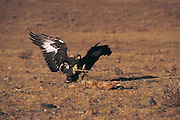 Golden eagle on dragged prey<br /> (Aquila chrysaetos)<br /> Kazakh annual eagle festival<br /> Western Mongolia
