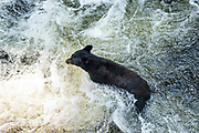 An adult American black bear swims in Anan Creek as it searches for spawning salmon in the Tongass National Forest, Alaska. Anan Creek is one of the most prolific salmon runs in Alaska and dozens of black and brown bears gather yearly to feast on the spawning salmon.