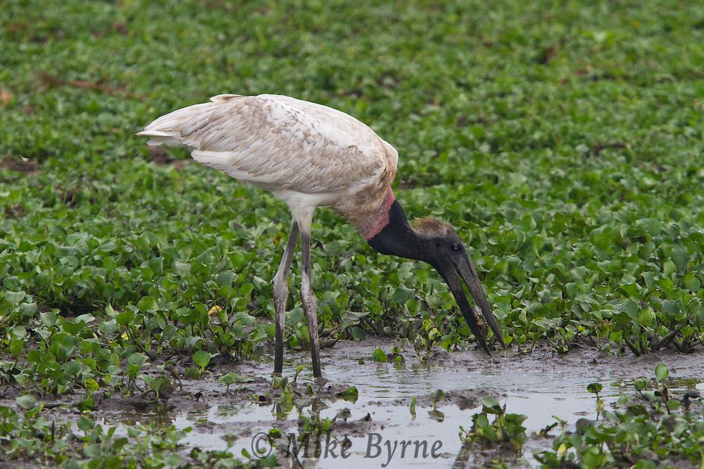 Jabiru Stork (Jabiru mycteria) wading in a Pantanal marsh near Araras Eco Lodge (Pantanal, Mato Grosso, Brazil)