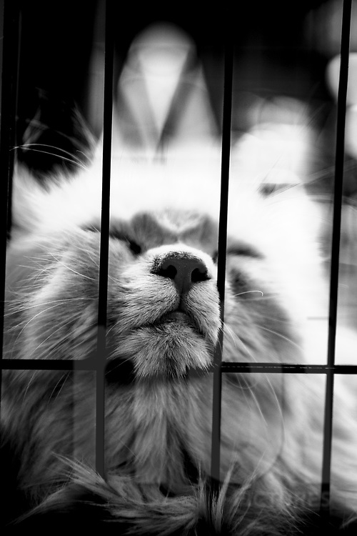 A cat rests his head through a cage, Yogyakarta, Indonesia, Southeast Asia