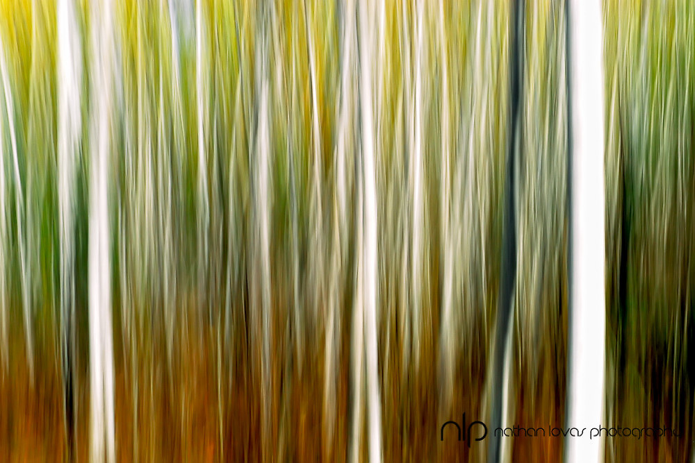 Abstract of birch tree forest in autumn;  not manipulated.  Minnesota.