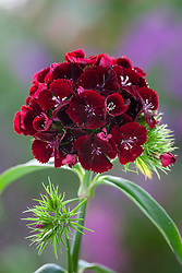 Dianthus barbatus F1 'Sweet Cherry Black'. Sweet William