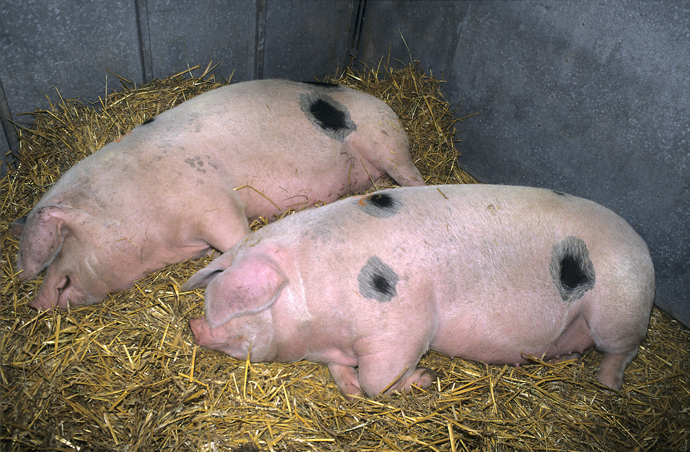 Pig Sus scrofa Length 1-1.5m Stocky, well-built animal. Adult has laterally flattened body. Domesticated Pig breeds include Large White, Berkshire, Middle White, Tamworth, Gloucester Old Spot and Saddleback.