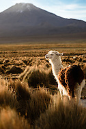A llama in Sajama National Park, with Volcan Pomerape - at 20,610 feet above sea level - in the background.