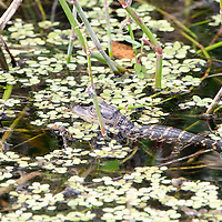 A baby Alligator in Everglades National Park, Florida.